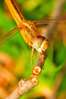 An Orange Dragonfly Royalty Free Stock Photography