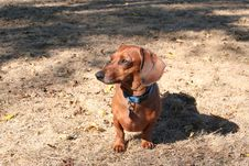 Free Miniature Dachshund Color Stock Photography - 3911942