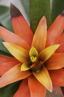 Free Bromeliad In Bloom Stock Photo - 3912210