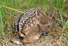 Free Fallow Deer ( Dama Dama ) Royalty Free Stock Image - 3913596