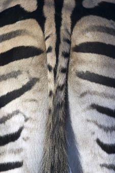 Free Zebra Tail Royalty Free Stock Photography - 3915227