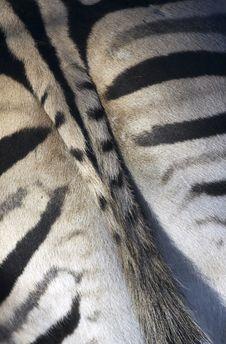 Free Zebra Tail Stock Photo - 3915250