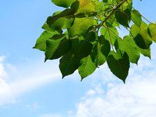 Free Green Leaf Blue Sky Royalty Free Stock Photos - 3916248