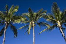 Free Palm Tree Trio Stock Photos - 3916673