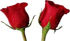 Free Red Roses Isolated Stock Photos - 3917573