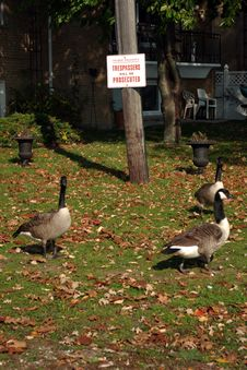 Free Trespassing Geese Royalty Free Stock Photo - 3917605