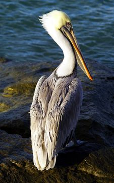 Free Pelican Royalty Free Stock Image - 3917606