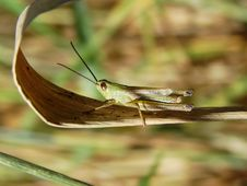 A Grasshopper Sat In A Grass Royalty Free Stock Photography
