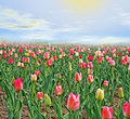 Free Field Of Tulips. Royalty Free Stock Image - 3920106