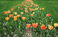 Free Path Of Tulip. Stock Image - 3920131