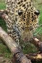 Free Amur Leopard 3 Stock Image - 3921501