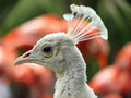 Free White Peacock Stock Photo - 3924540