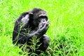 Free Chimpanzee Royalty Free Stock Image - 3928076