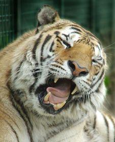 Free Sumatra Tiger Stock Photos - 3921583
