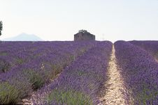 Free Lavender Field Small House Royalty Free Stock Photo - 3921685