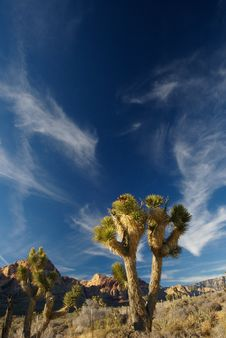 Free Joshua Tree At Red Rock Canyon Royalty Free Stock Photo - 3921825