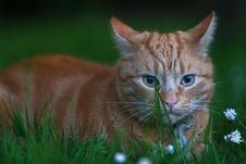 Free Ginger Cat Hiding In Grass Royalty Free Stock Photo - 3924395
