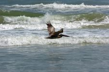 Free Flying Pelican Over Water Royalty Free Stock Image - 3924446