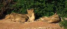 Family Of Lions Sleeping Royalty Free Stock Photography