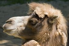 Camel Head Profile Royalty Free Stock Photography
