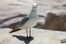 Free Gull Stock Photography - 3925582