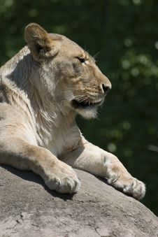Free Lioness Vertical Royalty Free Stock Photography - 3925657