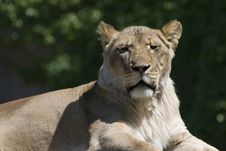 Lioness Portrait Horizontal Royalty Free Stock Photos