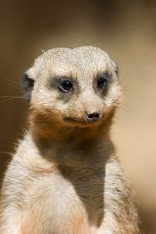 Free Meercat Portrait Royalty Free Stock Photo - 3925705