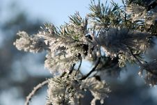 Free Snow And Pine Stock Photography - 3926122