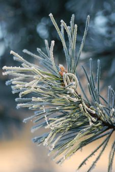 Free Snow And Pine Stock Photography - 3926162