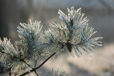 Free Snow And Pine Stock Images - 3926164
