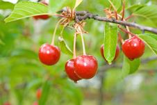 Free Sour Cherry-tree. Royalty Free Stock Images - 3926859
