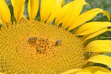 Free Sunflower. Stock Images - 3927034