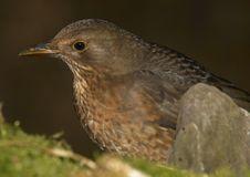 Free Blackbird - Female Royalty Free Stock Photography - 3927247