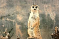 Free Meerkat Stare Royalty Free Stock Photography - 3927277