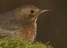 Free Blackbird - Female Stock Photography - 3927282