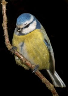 Free Blue Tit Royalty Free Stock Photography - 3927287
