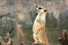 Free Wondering Meerkat Stock Images - 3927324