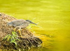 Free Little Heron (Butorides Striatus) Stock Photo - 3927650