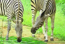 Free Zebra Herd Stock Photos - 3928113