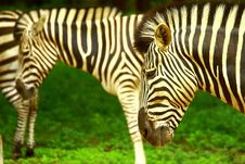 Free Zebra Herd Royalty Free Stock Photos - 3928228