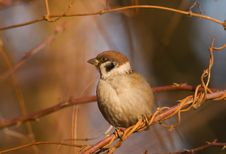 Free Sparrow Stock Image - 3928521