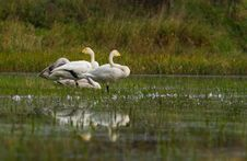 Free Swan S Family Stock Photography - 3928552