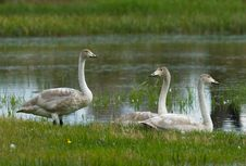 Free Swan S Family Stock Images - 3928554