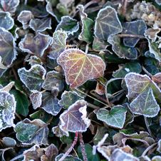 Free Frozen Leaves Royalty Free Stock Images - 3928619