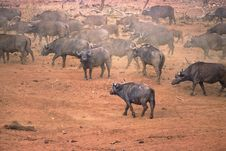 Free Buffalo Africa Stock Photography - 3929352