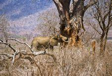 Free Elephant Baobab Royalty Free Stock Photos - 3929398