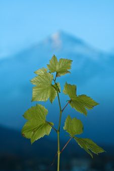 Grape Leaves Mountain Royalty Free Stock Photo