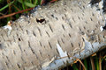 Free Birch Bark Close-up Royalty Free Stock Images - 3935289