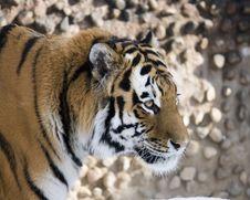 Free Stalking Bengal Stock Images - 3932134